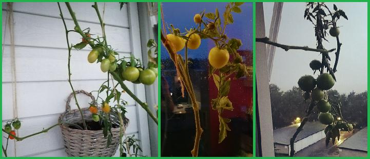 Last Stretch of Tomato Season